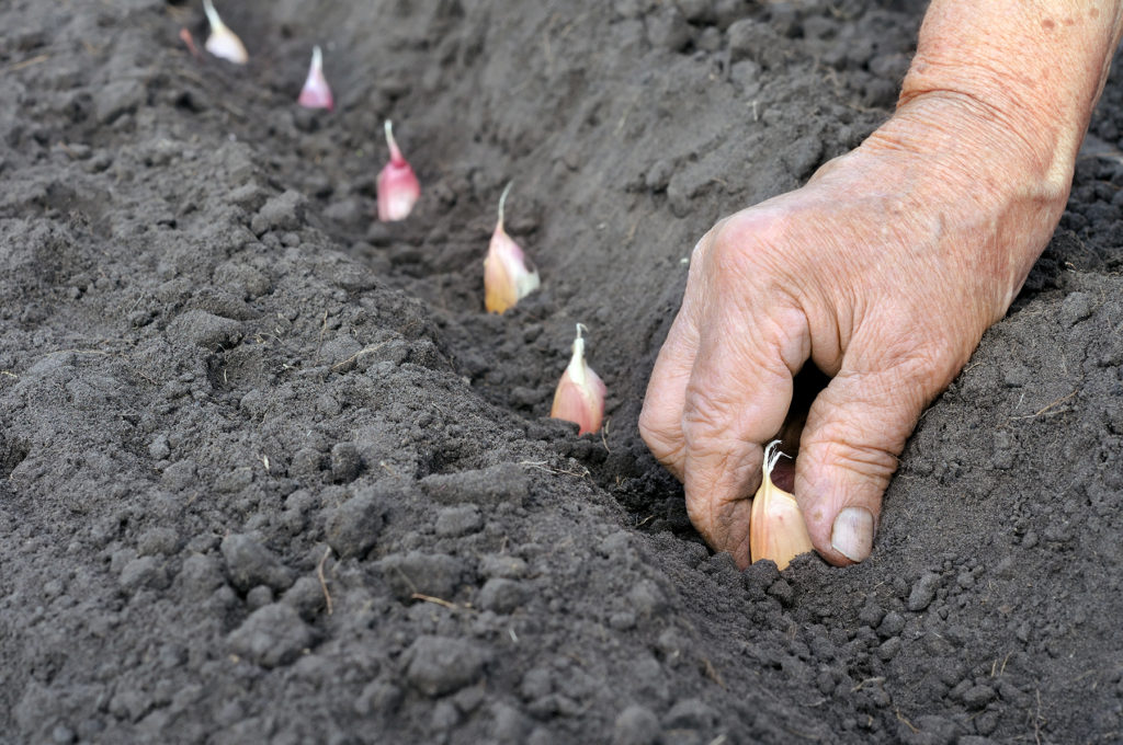 Garlic being planted into black soil
